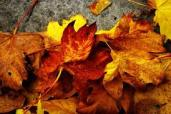 fall-leaves-copyright-free