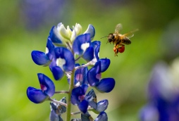 Honey bee visits Texas bluebonnet